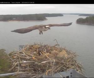 seili osprey kalasääski sääksi
