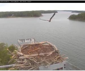 Seili osprey sääksi kalasääski